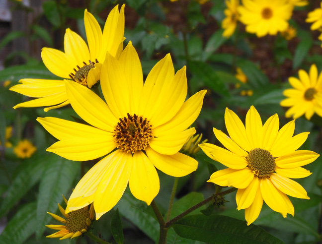 2014 swamp sunflower blooms